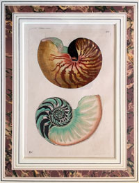 Painting of two nautilus shells